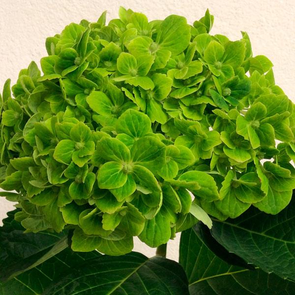 Hortensias Verdes