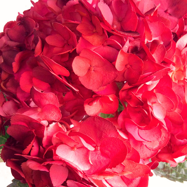 Hortensias rojas