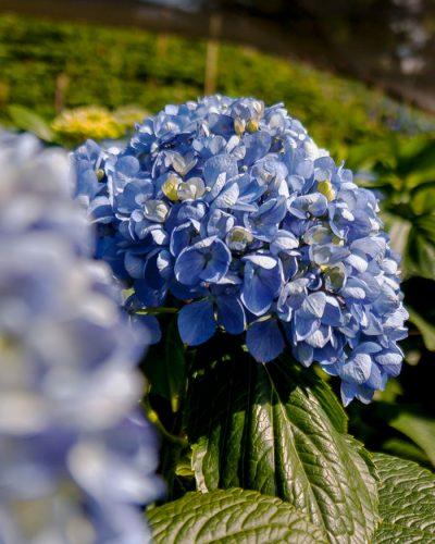 Jumbo Blue Hydrangea