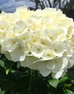 White premium hydrangeas