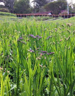 Purple statice growing
