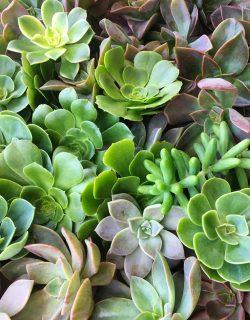 Echeverrias o succulentas