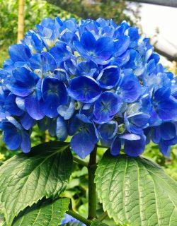 Hortensia azul impactante