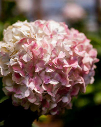 Hortensia Blanca-Rosa Antigua