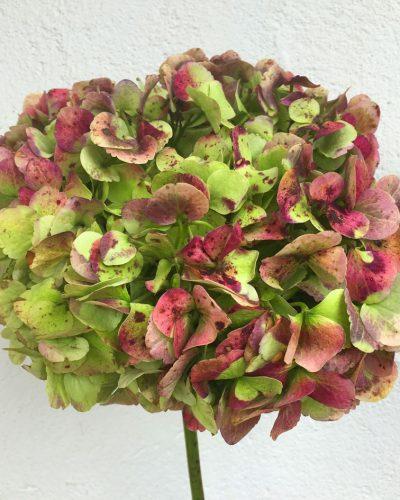 Hortensia Verde Antiguo