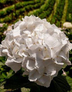 Hortensia blanca jumbo