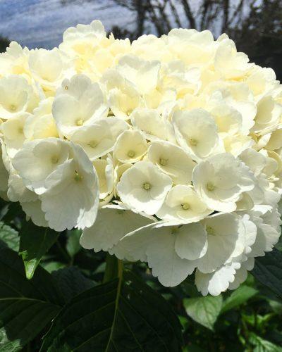 Hortensia Blanca Premium