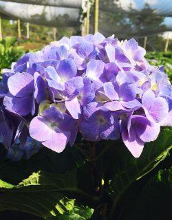 Hortensia lavanda