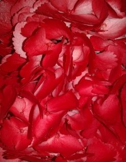 Painted red hydrangea
