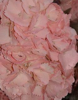 Hortensia pintada rosa