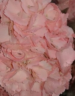 Ligth pink painted hydrangea
