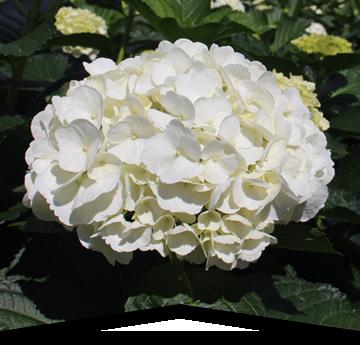 Hydrangeas blancas