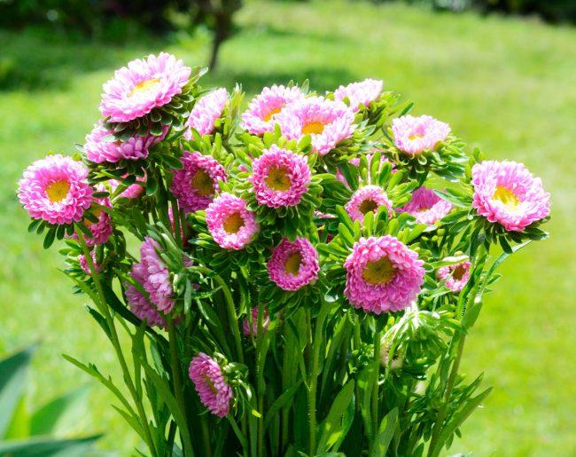Aster Matsumoto Pink
