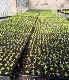 cultivo matsumoto