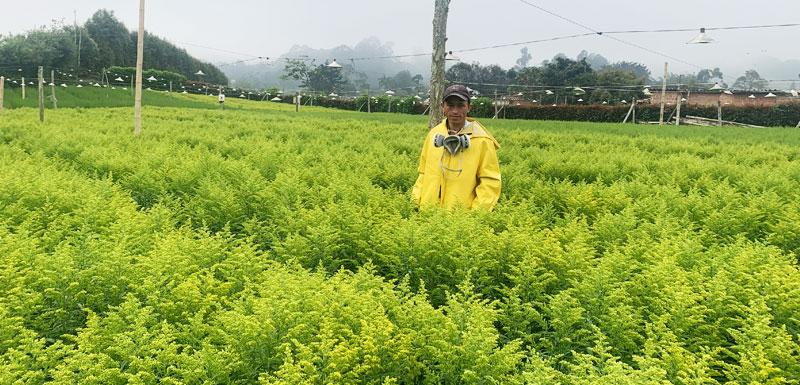 cultivo solidago cultivador
