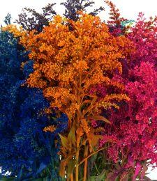 solidago-colores