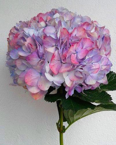 Hortensia Lila Antiguo