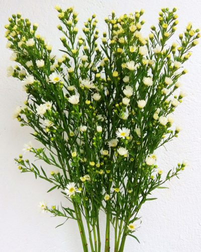 aster-blanco