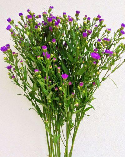 aster-purpura
