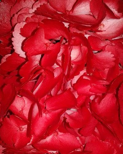 Hortensia Pintada Roja