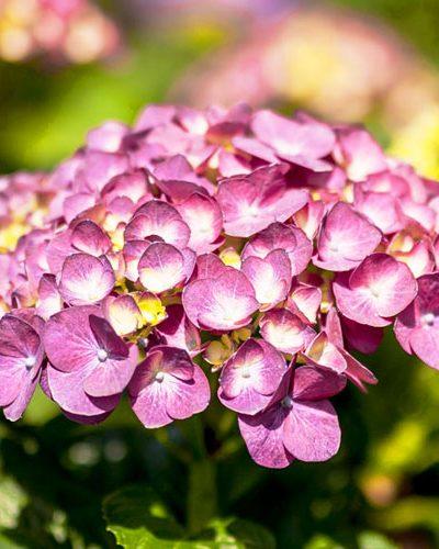 Hortensia Púrpura