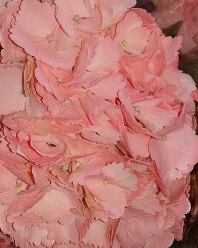 Hydrangea Painted Pink