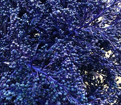 Solidago Tinted Blue