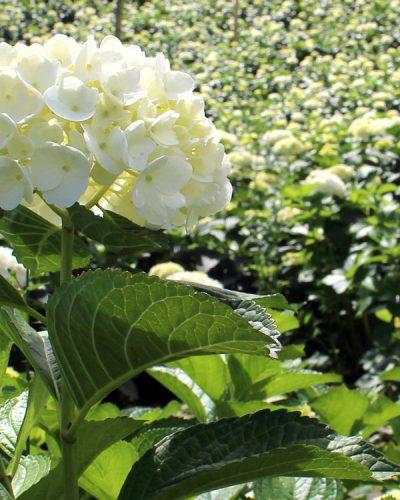 Hydrangea Growing
